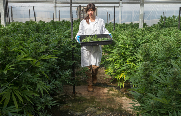 A cannabis greenhouse at kibbutz Revadim. Photo: BOL Pharma