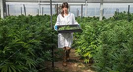 A cannabis greenhouse at kibbutz Revadim. Photo: BOL Pharma