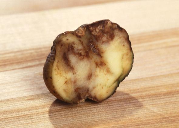 תפוח אדמה נגוע בכימשון. נזקים של מיליארדי דולרים בכל שנה