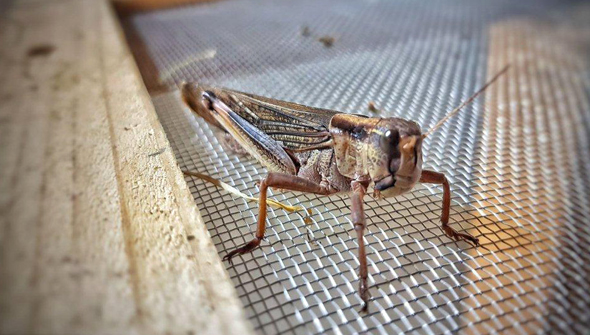 Grasshopper. Photo: Hargol FoodTech