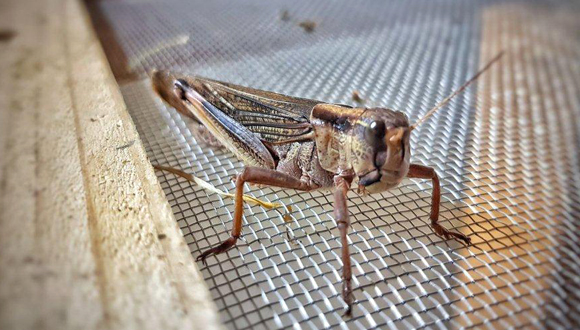 Grasshopper. Photo: Hargol FoodTech