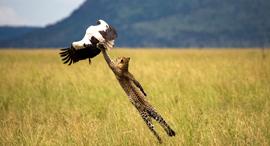 פוטו תחרות צילומים נשיונל גאוגרפיק נמר, צילום: Paul Rifkin/National Geographic Travel Photographer of the Year Contest