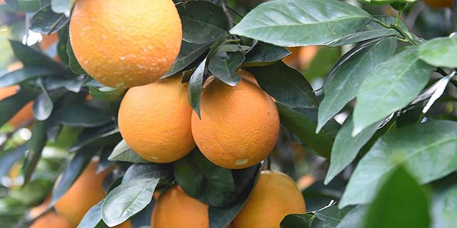 מתפוזים ועד הגדלת היצוא: האמת מאחורי ההתרברבות של בנימין ויאיר נתניהו