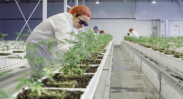 חווה לגידול קנאביס של חברת אורורה הקנדית