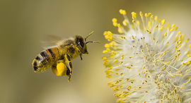 Bee pollination (illustration). Photo: Shutterstock