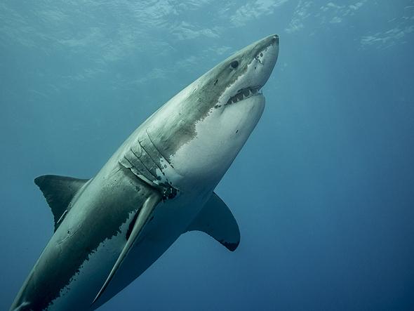 לא חייזרי במיוחד. כריש לבן גדול, צילום: שאטרסטוק