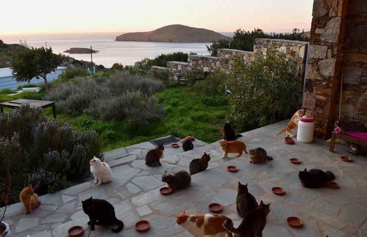 חתולי האי