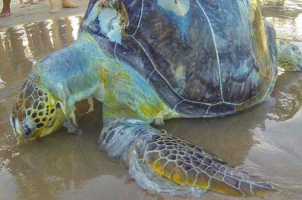 """פגר צב שמת מזיהום של פלסטיק בברזיל. האו""""ם הכריז אשתקד """"מלחמה על הפלסטיק הימי"""""""