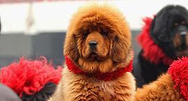 כלב מסטיף טיבטי Tibetan Mastiff כלבים יקרים, צילום: גטי