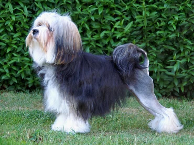 לאושן, צילום: dogbreedplus
