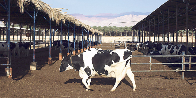 החלב מתייקר; הנזק למחלבות - 200 מיליון שקל