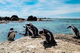 פינגווינים בבולדרס ביץ', דרום אפריקה, צילום: שאטרסטוק
