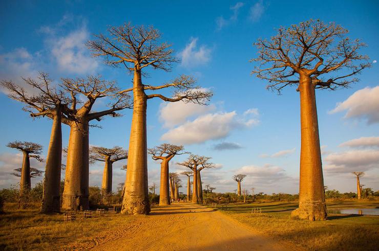 עצי באובב במדגסקר , צילום: wanderlust