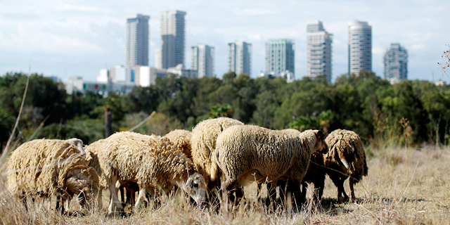 In Tel Aviv, a Herd of Sheep Is Helping the City Bloom