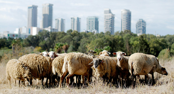 Tel Aviv's urban sheep herd. Photo: Amit Sha'al