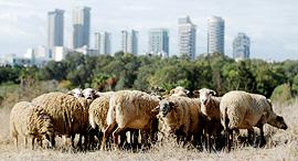 מוסף שבועי 15.11.18 עדר כבשים החווה החקלאית תל אביב, צילום: עמית שעל