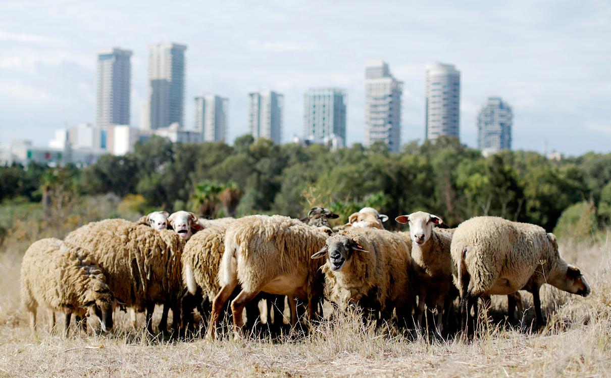 """עדר כבשים רועה בת""""א, צילום: עמית שעל"""