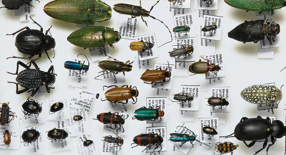 מתוך אוסף החרקים של מוזיאון הטבע. החלק שהכי הלהיב את הילדים
