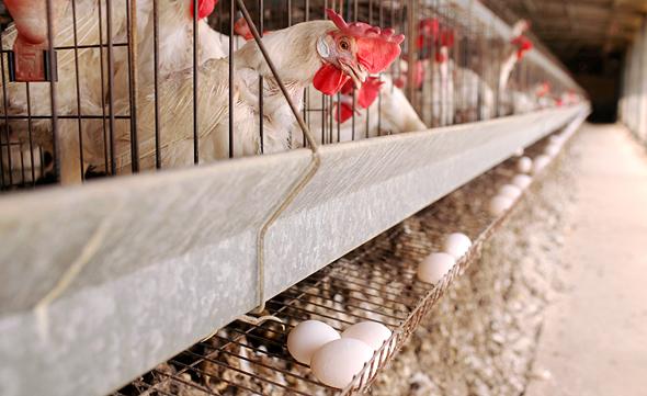 לול תרנגולות, צילום: עמית שעל