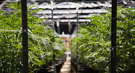 Cannabis farming. Photo: Shutterstock