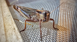 A grasshopper. Photo: Hargol