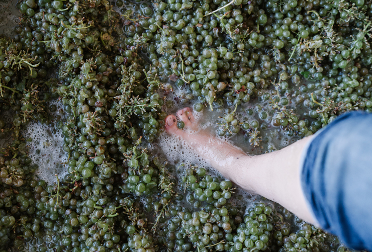 """דריכת ענבים מסורתית (שלא מתקיימת אצל כל היצרנים). ליג'רו: """"היין נהפך ממוצר חקלאי, טבעי ופשוט למוצר לייפסטייל מלאכותי. זו היתה טעות"""""""