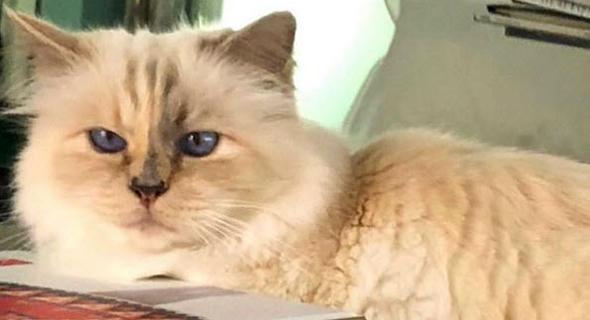 שופט החתולה. אהבתו של לגרפלד