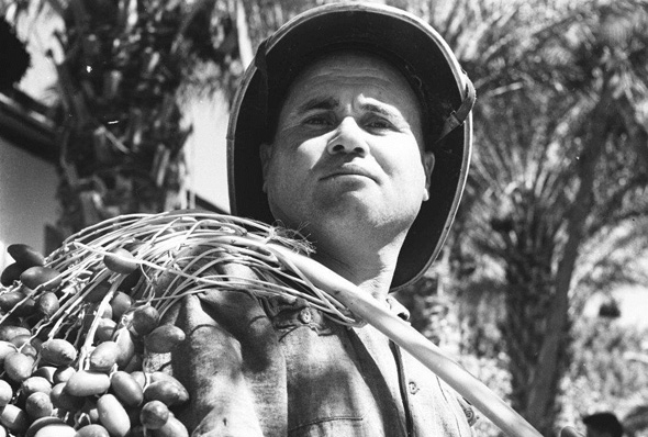 A date farmer in Kibbutz Degania. Photo: Wikimedia/Israel State Archives
