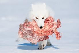 שועל לבן, תחרות הצילומים של smithsonian, צילום: Patrizia Ricci. All rights reserved