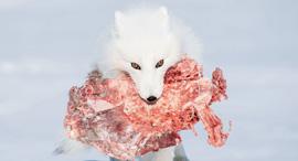פוטו תחרות צילומים מגזין Smithsonian שועל לבן , צילום: Patrizia Ricci. All rights reserved