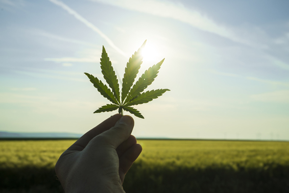Cannabis. Photo: Shutterstock