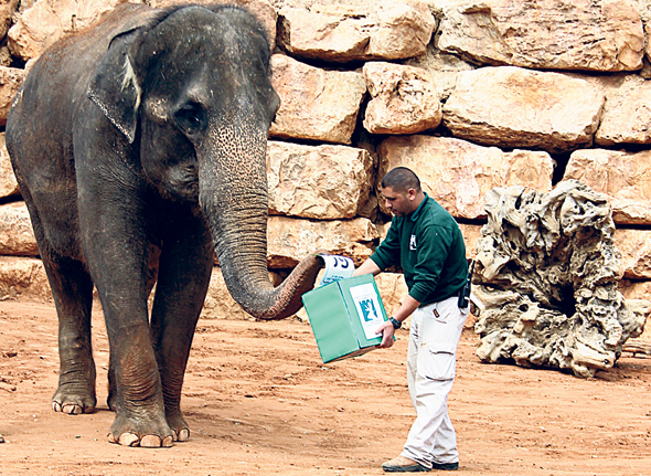 An elephant voting at the Jerusalem Biblical Zoo. Photo: Yaara Forest Tamari