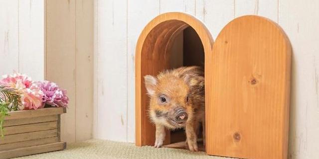 """""""חזירי כוס-תה"""": בית קפה לחזרזירים נפתח בטוקיו"""
