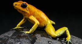 פוטו בעלי החיים המסוכנים ביותר צפרדע מוזהבת, צילום: שאטרסטוק