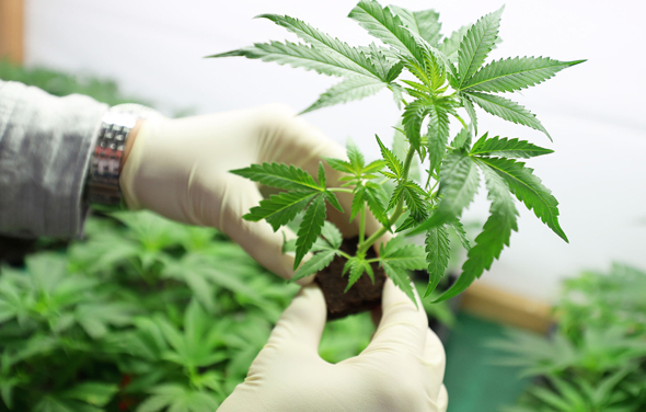 Medical cannabis. Photo: Shutterstock