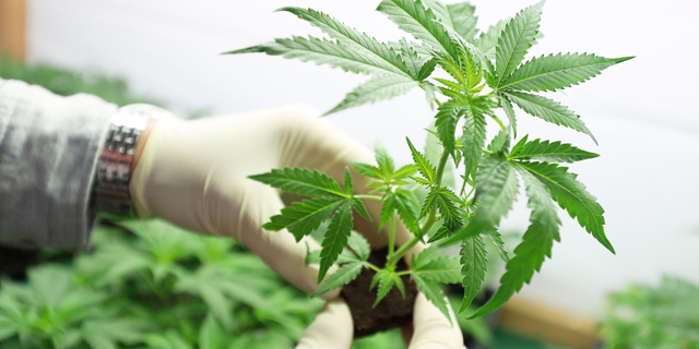 Cannabis Companies Join Search For Covid-19 Cure