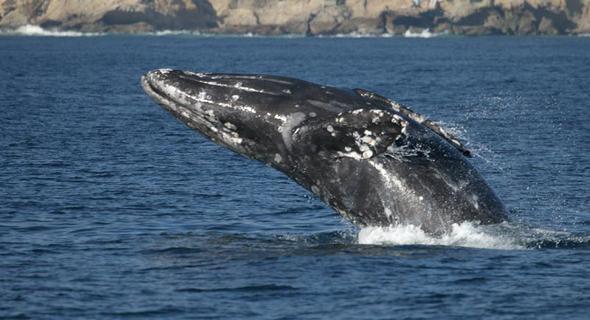 לווייתן לויתן