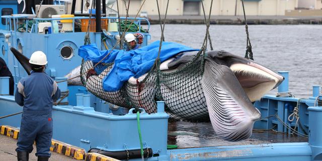 לאחר איסור של 31 שנה - חודש צייד הלווייתנים המסחרי ביפן