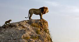מתוך החידוש לסרט מלך האריות פנאי, צילום: The Walt Disney Company