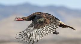 פוטו תחרות צילומי ציפורים Wild Turkey, צילום: David Bates / Audubon Photography Awards