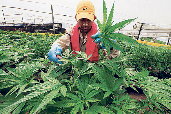 Cannabis farmer in Colombia. Photo: Reuters