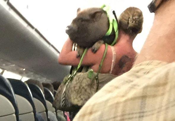 חזיר על מטוס. מראה שכנראה לא יחזור על עצמו, צילום: Twitter, Robert Phelps