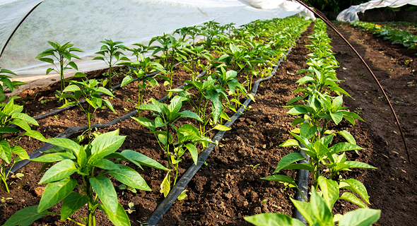 Drip irrigation. Photo: Shutterstock