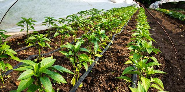 Drip irrigation. Photo: Shutterstock