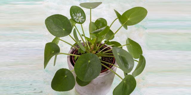 הלהיט החדש של הגננים: צמח הפִּילֵאָה