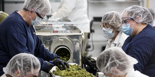 קאנופי הקנדית תספק קנאביס רפואי לבריטים תוך יום