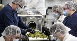 עובדי קאנופי ממיינים פרחי קנאביס במפעל באונטריו, צילום: בלומברג