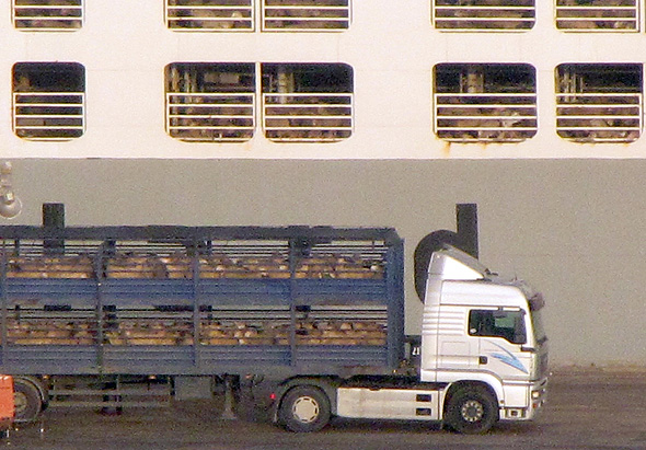 Shipping live cattle. Photo: Animals