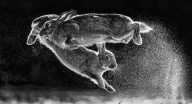 תחרות צילומי הטבע 2019 ארנבות , צילום: Csaba Daroczi