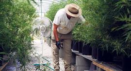 """חקלאי בחממת קנאביס בקנטקי, ארה""""ב, צילום: בלומברג"""